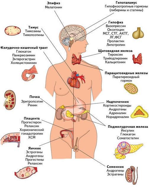 endokrinologia-2