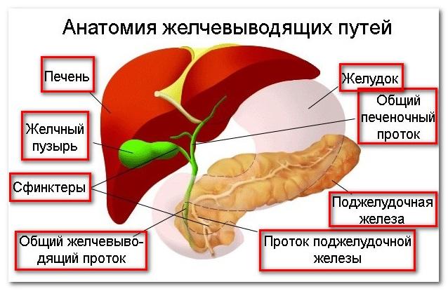 где образуется холестерин в организме